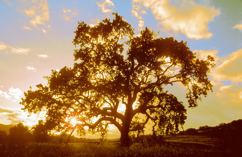 oak tree sunset 1-3