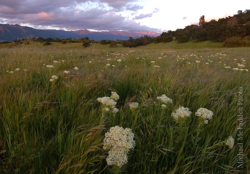 Yarrow Stalks in Field Springtime Ojai Valley  Color of Ojai   ,