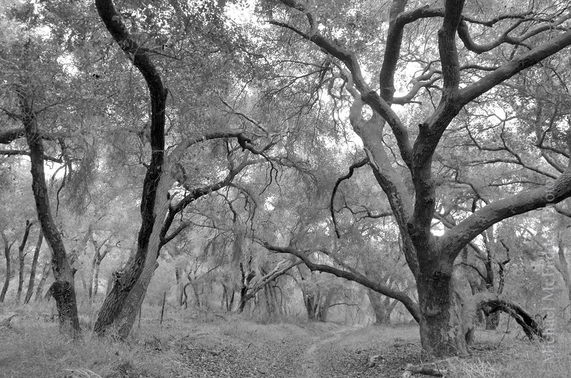 oak trees blackandwhite