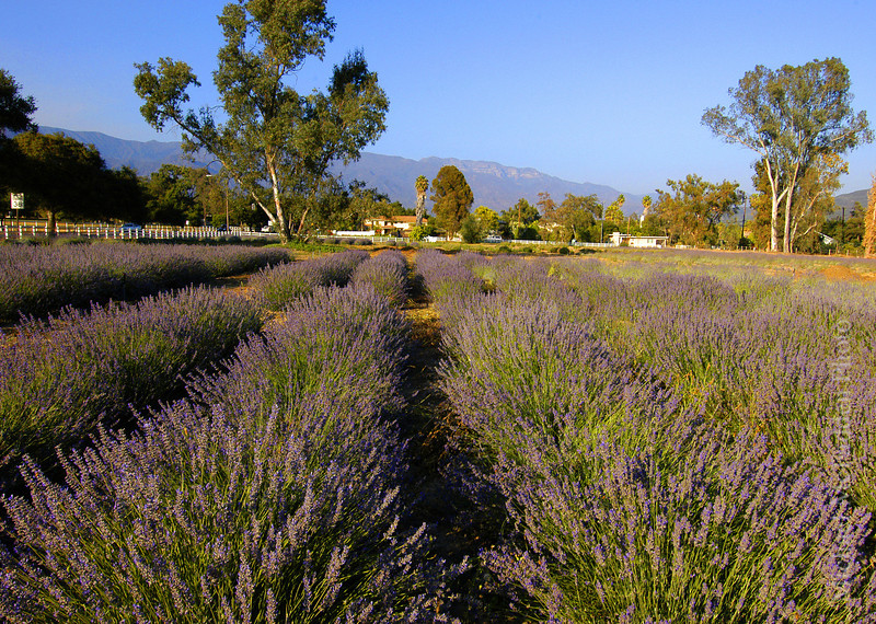 Lavender Field Ojai Valley  Color of Ojai   , Light & Spirit
