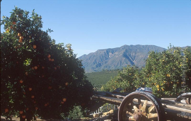 Orange grove, east end Ojai Valley  Color of Ojai