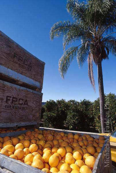 Oranges In Creates, East End Ojai Valley  Color of Ojai   , Light & Spirit