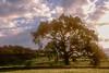 ojai oak tree-2