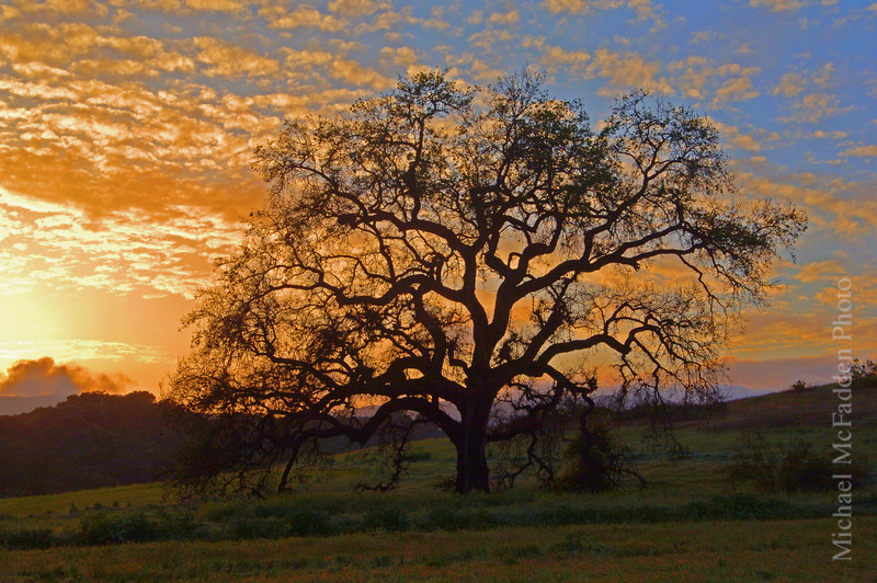 Oak Tree at Sunset Ojai Valley  Color of Ojai   , Light & Spirit