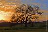 Oak Tree at Sunset Ojai Valley  Color of Ojai   , Light & Spirit