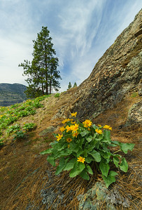 Perched Balsamroot
