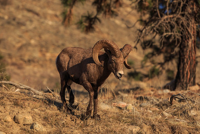 Vaseux Bighorn Ram - On The Prowl 2019