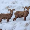Snowy Rams