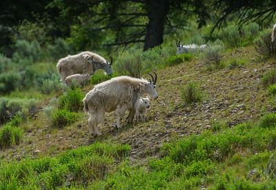 Summerland Goats 2020