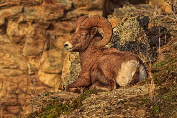 Golden Ram Resting -Close Up