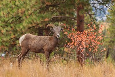 Autumn Ram