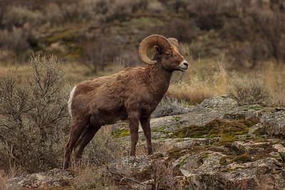 Black Sage Bighorn