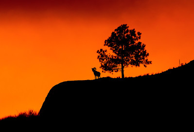 Bighorn Sunset Silhouette