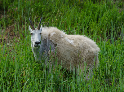 Summerland Goat 2020-2
