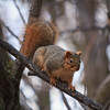 Haynes Point Red Squirrel II