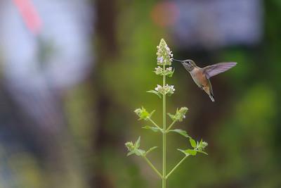 Garden Hummingbird II