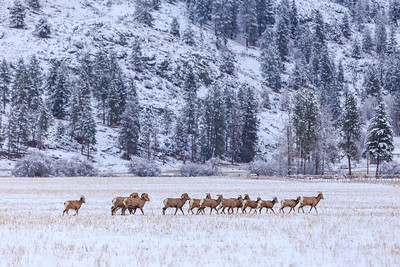 Bighorns On The Move