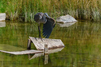 Skaha Pond- Great Blue Heron 3