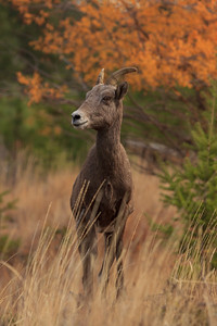 Autumn Ewe - Vertical Shot
