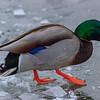 Ice Duck