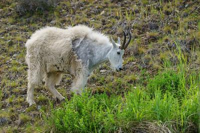 Summerland Goat 2020-3