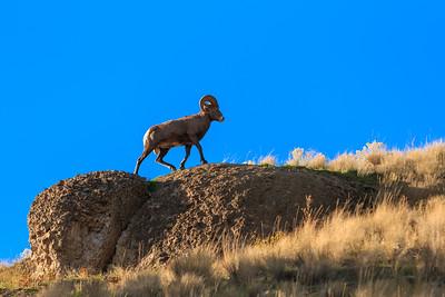 Ridgetop Ram