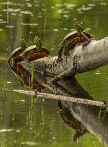 Sawmill Pond Painted Turtles