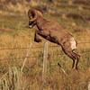 Bighorn Fence Jump
