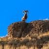 Ram On The Ridge