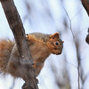 Haynes Point Red Squirrel I