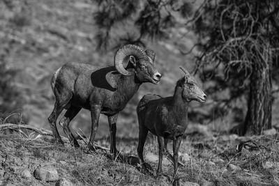 Vaseux Bighorn Couple 2019 bw