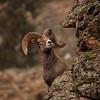 Peeking Ram