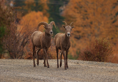 Carmi Highlands- Bighorn Couple