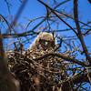 Peaking Owlet