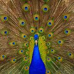 Naramata's Peacock