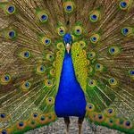Naramata's Peacock II
