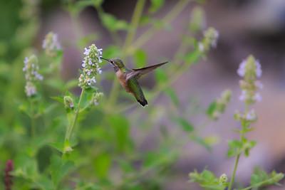 Garden Hummingbird I