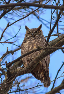 Great Horned Owl IV