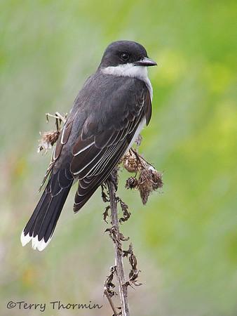 Okanagan Birds