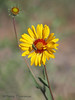 Brown-eyed Susan, Gaillardia aristata