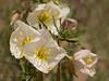 White Evening -primrose, Oenothera nuttallii