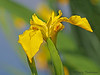 Yellow flag, Iris pseudacorus