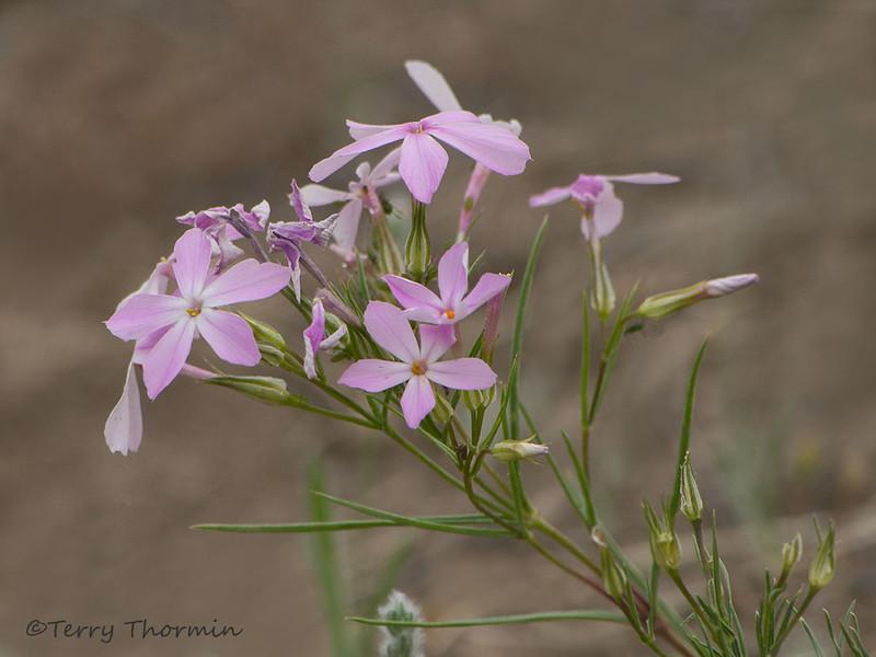 Long-leaved Phlox, Phlox longifolia