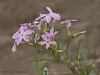 Long-leaved Phlox, Phlox longifolia