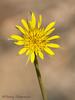 Yellow Salsify, Tragopogon dubius