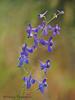 Upland Larkspur, Delphinium nuttallianum