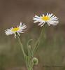 Long-leaved Daisy, Erigeron corymbosus