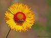 Brown-eyed Susan, Gaillardia aristata