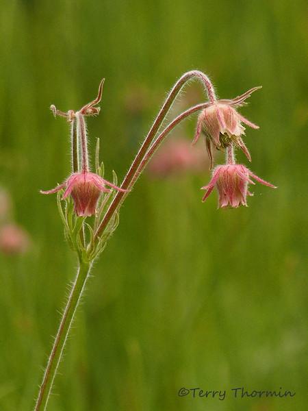 Three-flowered Avens, Geum triflorum