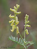 Hillside Milk-vetch, Astragalus collinus